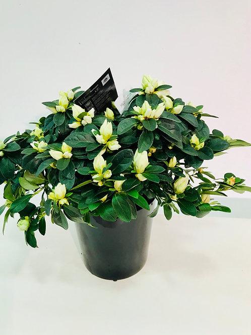 Plant (Azalea) in kwalitatieve pot van DM Depot