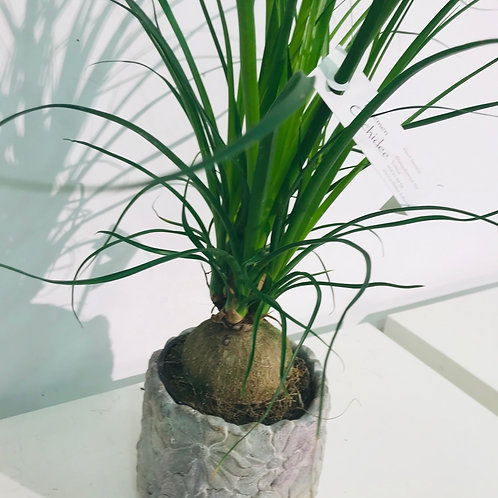 Plant in BloemenOrchidee Rastelli