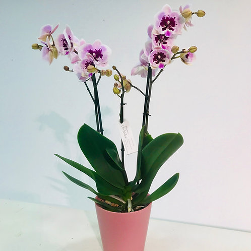 Roze orchidee in bijpassende roze pot DM Depot