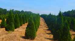 Emerald Arborvitae