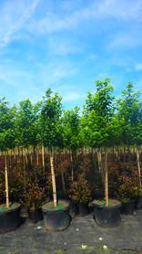 Brandywine Maple Wine and Roses weigla