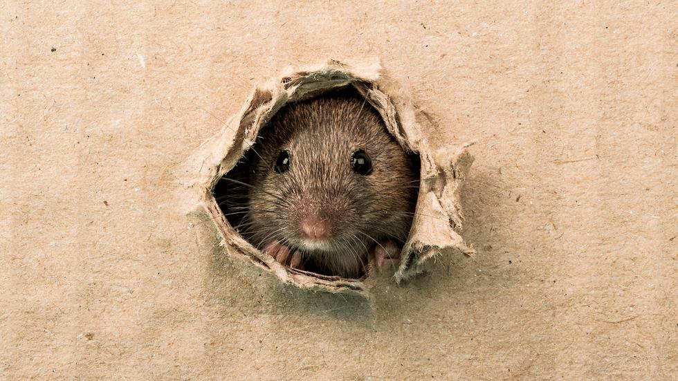 Rattenbekämpfung-Aachen-Kammerjäger