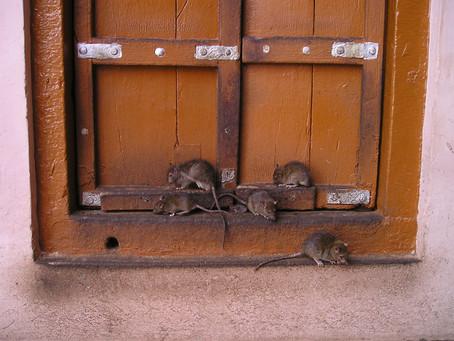 Rattenbekämpfung: Fix Schädlingsbekämpfung in Aachen