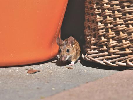 Mäuse im Haus? Schädlingsbekämpfung in Aachen