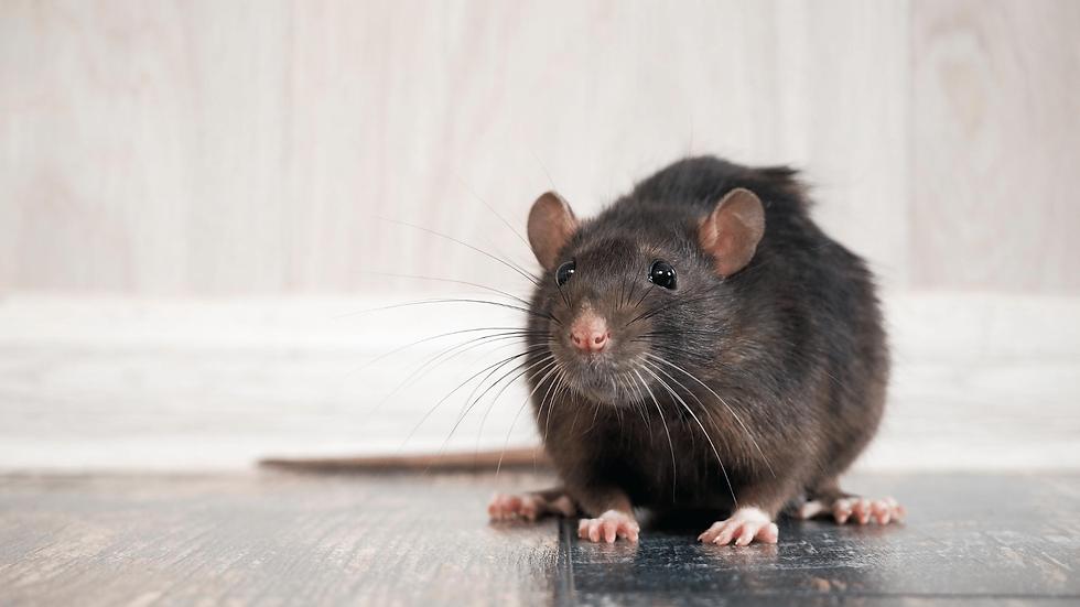 mäuse-im-haus-kammerjäger.png