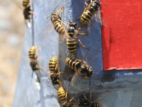 Erfolgreich Wespen bekämpfen? Fix-Schädlingsbekämpfung in Aachen.