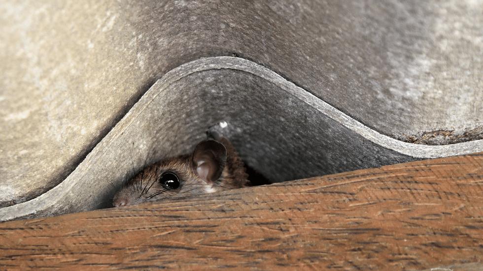 mäusebekämpfung.png