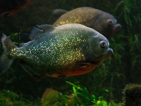 Y-a-t-il des piranhas dans la Garonne?