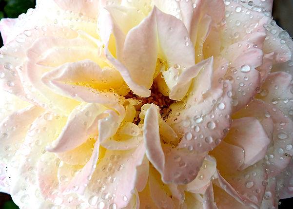 Rose in Rain Center Crop Bright Sharp co