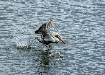 Florida Pelican Takeoff Splash Sharp cop