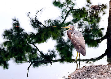 Florida TriColored Heron on Shore Sharp