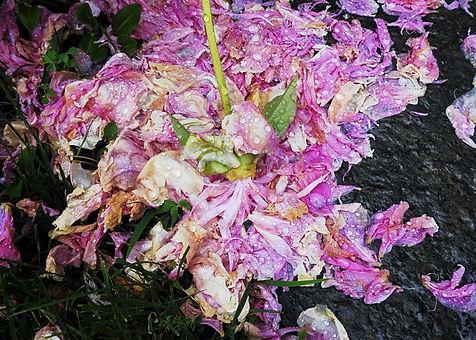 Summer Peony Fall in Rain 1.jpeg