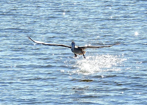 Florida Pelican Star Takeoff Sharp.jpeg