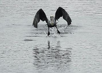 Florida Pelican Launch Sharp.jpeg