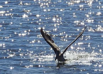 Florida Pelican Starry Takeoff Sharp.jpe