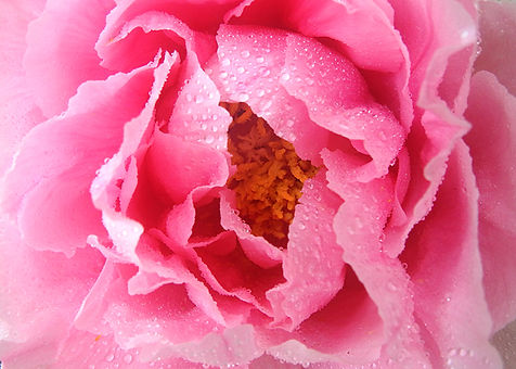 Spring In the Pink Tree Peony Sharp.jpeg
