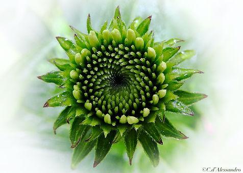 Summer Exhinacea Bud in Rain Vignette Sh