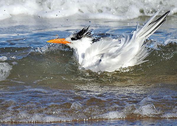 Florida Caspian Tern bath Time in Surf 2