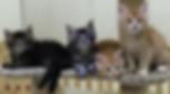 Rebungcats Maine Coon