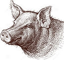 pig-vector-drawing-head cropped.jpg