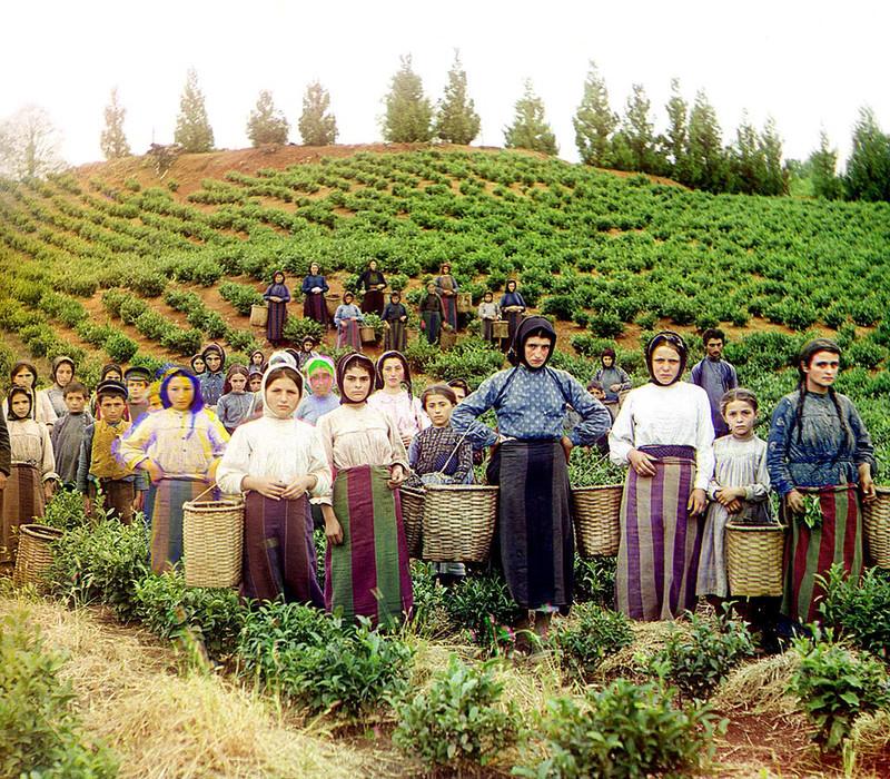 Сбор чая в Удельном имении, 1907–1915 гг. Цифровое цветное изображение с негативов Прокудина-Горского