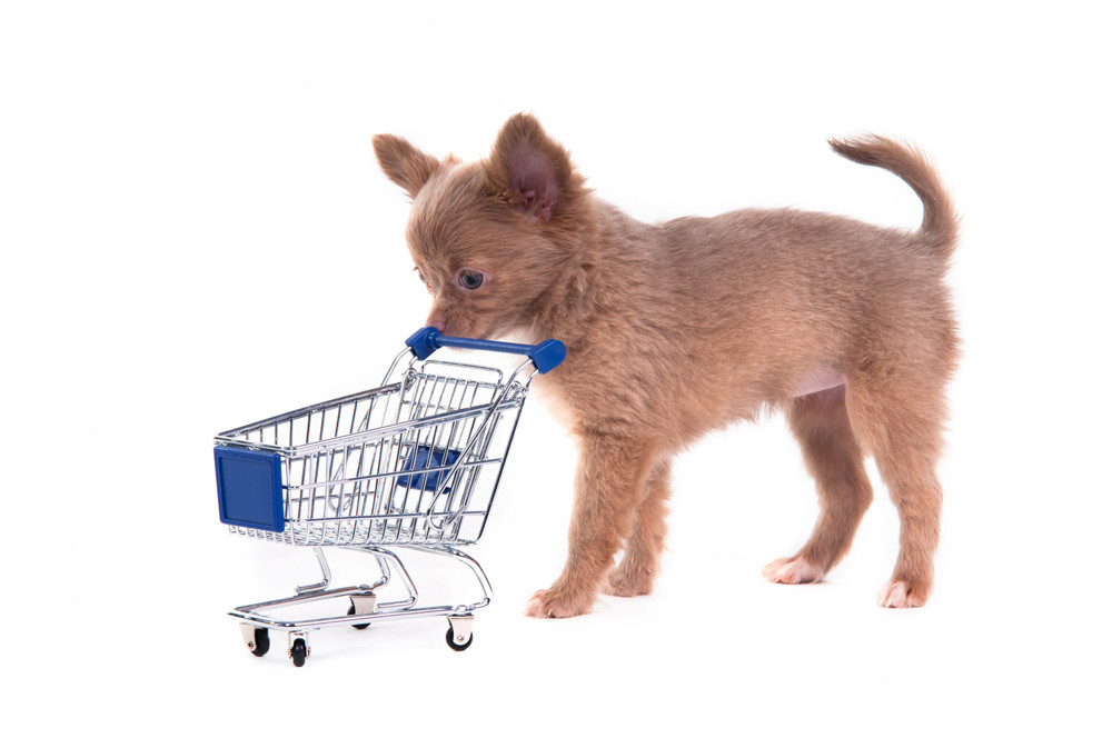 Chihuahua puppy pushing a mini shopping trolley