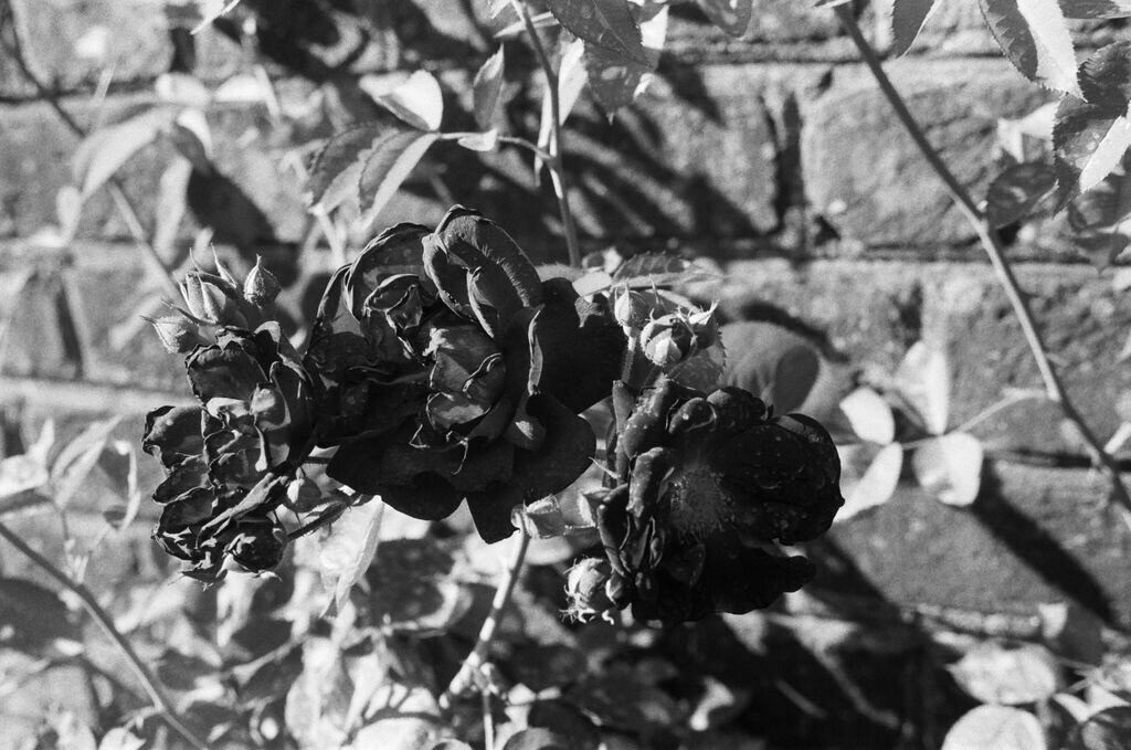 Roses Dying in the Sun