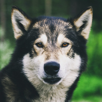 The alaskan husky Sautso