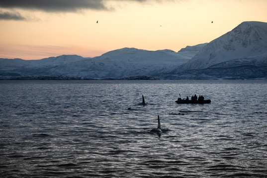 Whalewatching outside Tromsø