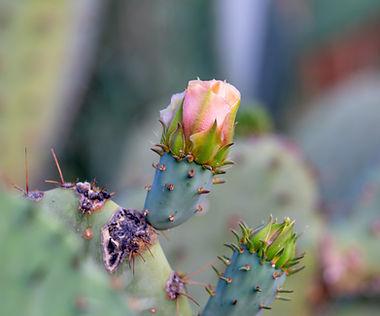 Flowering cactus, Phoenix, AZ