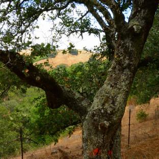 Briones Park Tree