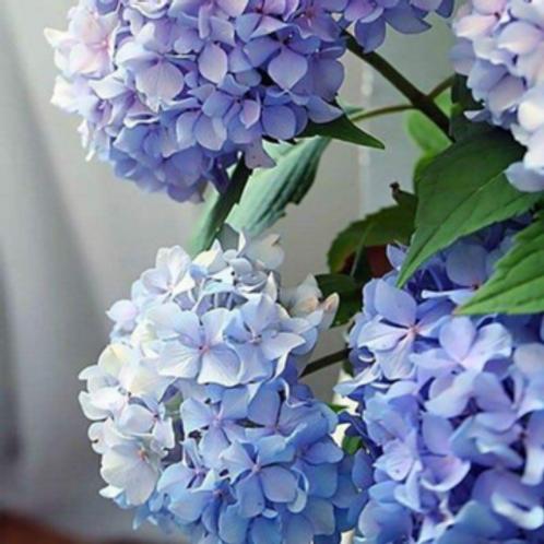 Happily Hydrangeas