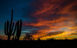 Cigarro Cactus of Arizona