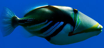 LagoonTriggerfish.jpg