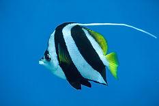 PennantButterflyfish.jpg