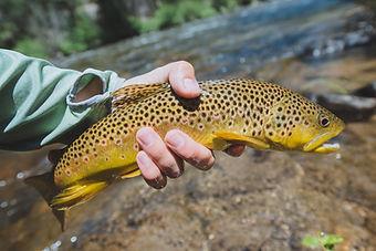 brown-trout.jpeg