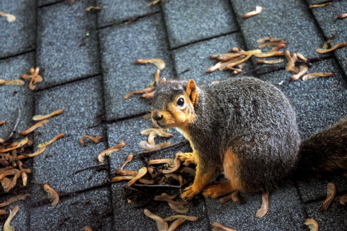 Roof Squirrel