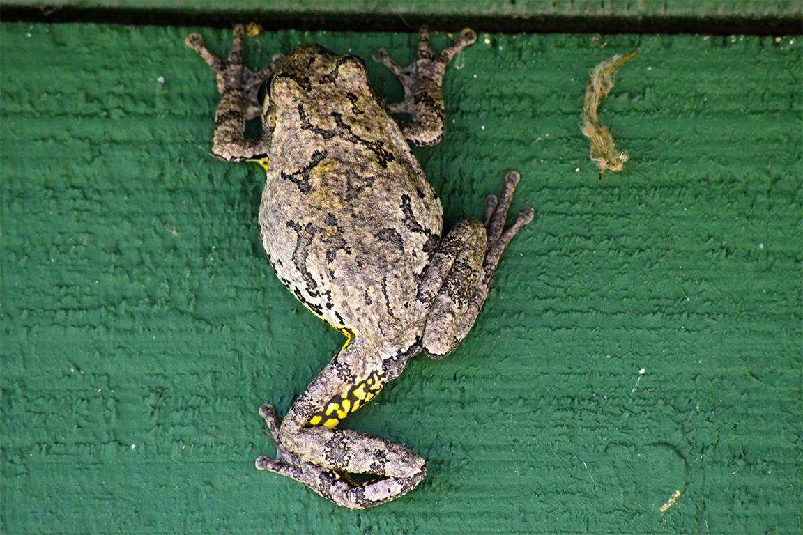 Cabin Frog