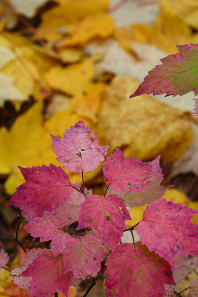 Pink Maple