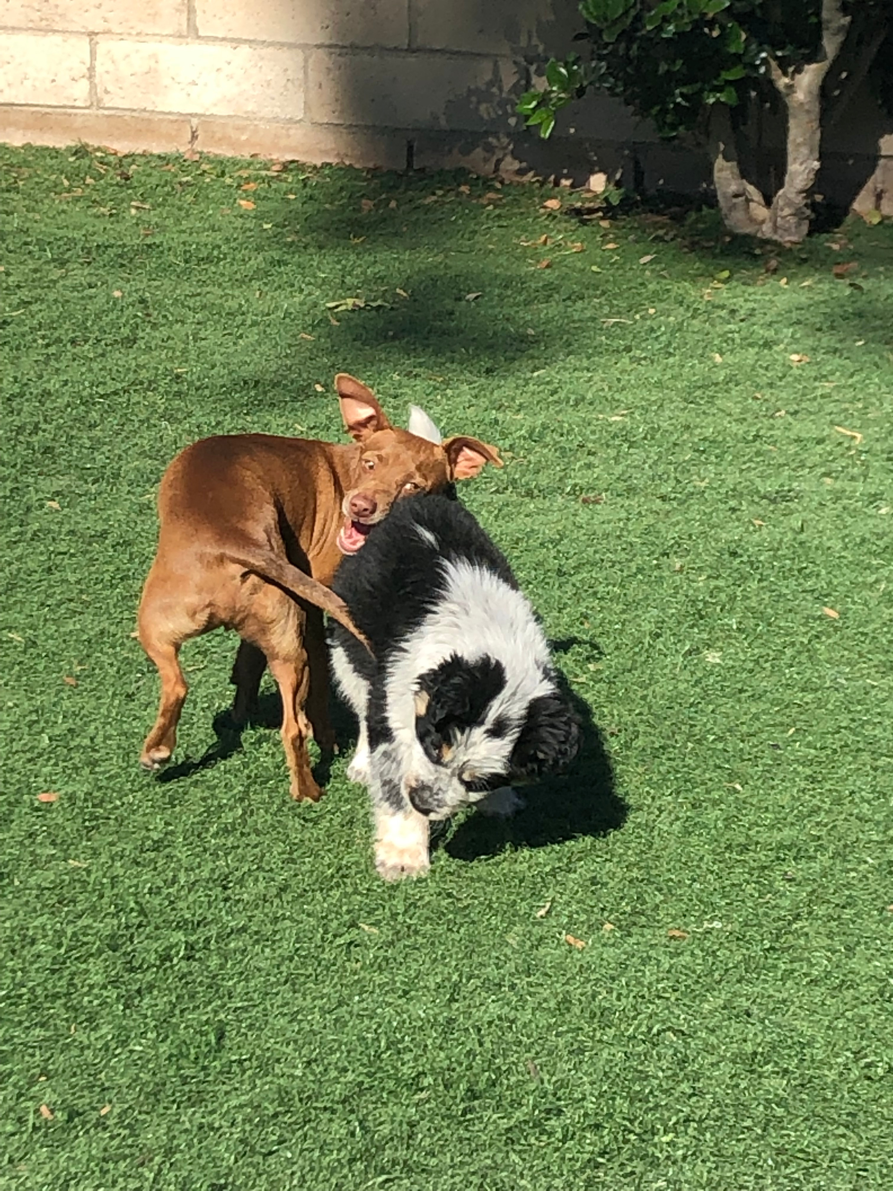 AKC STAR Puppy Program 1.5 Hours