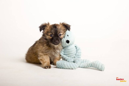 Stoke On Trent puppy photography services