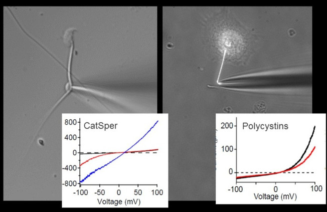 Ionic currents measured in cilia and sperm