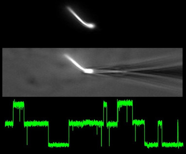 An electrode recording polycystin channels opeining in the primary cilia