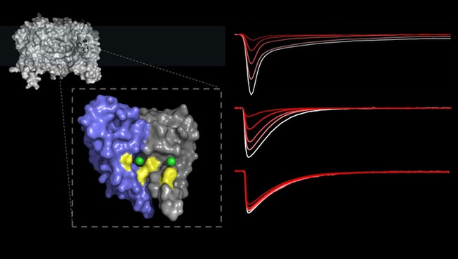 Lamotrigine binding site in an Na+ channel