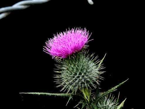 Wire and Thistle 1