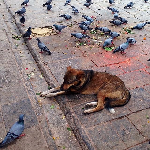 Cohabitation #urbanwildlife #kathmandu