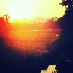 The sun setting over a rice field