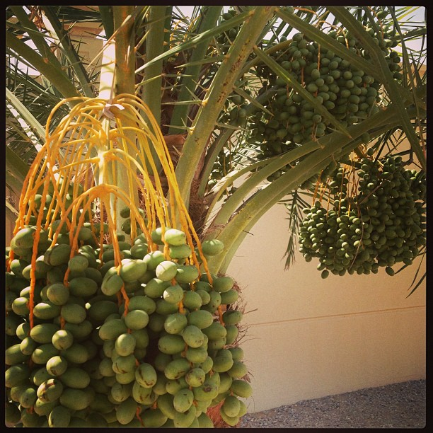 The trees are heavy with delicious dates! #timetoharvest #uae #abudhabi #mmm