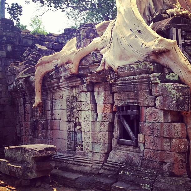 Tree v Temple #cambodia