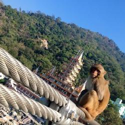 #Himalayas #monkeys #india